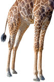 The legs of a rothschild giraffe Stock Image