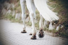 The legs of a white horse, which goes on a paved road stock image