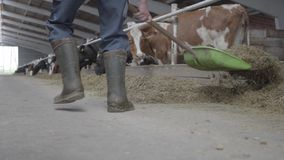 Legs of unrecognizable man in rubber boots on the cow farm shoveling hay to cows close-up. Agriculture industry, farming. Legs of unrecognizable man in rubber stock video