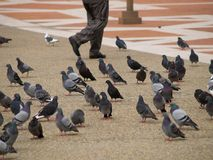 Legs Walking Through Pigeons Stock Photo