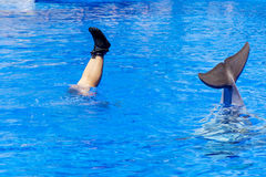 Legs of a woman and  tail of a dolphin in the pool Stock Photography