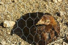 Legt de huis bruine kip achter een draadnetwerk Royalty-vrije Stock Foto's