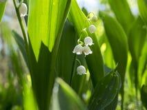 Legt van majalis van Lelietje-van-dalenconvallaria bloeiend in het bos Stock Foto