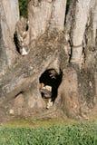 Leguaan in boom Stock Afbeelding