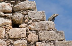 Leguaan die op de Piramide van de Tovenaar in Uxmal wordt neergestreken stock fotografie