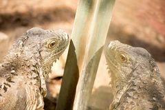 Leguaan in dierentuin in Argentinië stock foto