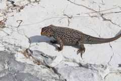 Leguaan in een Caraïbisch eiland, de Bahamas royalty-vrije stock afbeeldingen