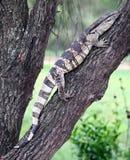 Leguaan eller reptil för vattenbildskärm Arkivfoto