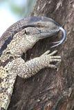 Leguaan eller reptil för vattenbildskärm Arkivbilder