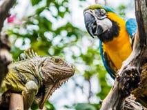 Leguaan en Blauwe en Gouden Ara Stock Afbeeldingen