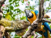 Leguaan en Blauwe en Gouden Ara Stock Foto