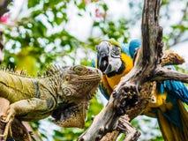 Leguaan en Blauwe en Gouden Ara Stock Foto's
