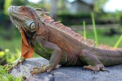 Leguaan, het mooie kleine reptiel royalty-vrije stock afbeeldingen