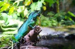 Leguaan in het regenwoud stock foto's
