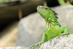 Leguaan - Iguane stock foto's