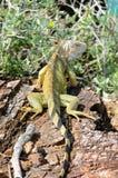 Leguaan - Iguane Royalty-vrije Stock Afbeeldingen
