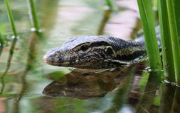 Leguaan mannelijk mooi veelkleurig dierlijk, kleurrijk reptiel in Zuid-Florida royalty-vrije stock fotografie