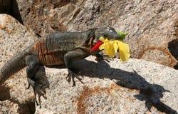 Leguaan met een bloem stock foto