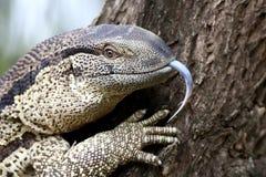 Leguaan oder Wasser-Monitor-Reptil Stockfoto