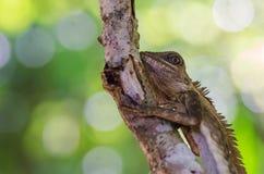 Leguaan op boom met bokehachtergrond Stock Foto