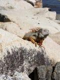 Leguaan op de rotsen Stock Fotografie