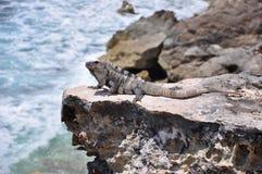 Leguaan op de rotsen. Mexico Royalty-vrije Stock Afbeelding