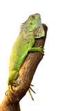 Leguaan op een boom stock foto