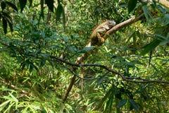 Leguaan op een boom stock foto's