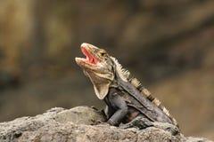 Leguaan op een rots, Costa Rica Stock Afbeeldingen