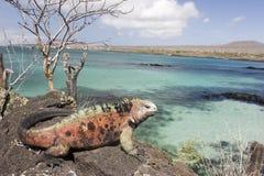 Leguaan op eiland Floriana Royalty-vrije Stock Foto's
