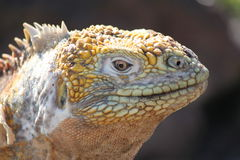 Leguaan op het Eiland de Galapagos van het Plein van het Zuiden Royalty-vrije Stock Afbeeldingen