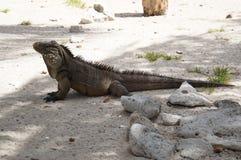 Leguaan op het strand royalty-vrije stock foto's