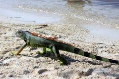 Leguaan op tropisch strand Stock Afbeelding