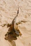 Leguaan op woestijnzand Royalty-vrije Stock Foto's