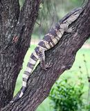 Leguaan ou reptile de moniteur d'eau Photo stock