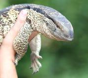 Leguaan ou reptile de moniteur d'eau Images stock