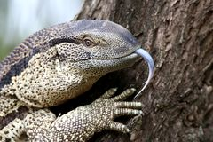Leguaan or Water Monitor Reptile Stock Photo