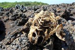 Leguaanskelet in de Eilanden van de Galapagos Stock Foto