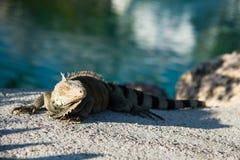 Leguanödlan som vilar på varmt, vaggar nära vattenedfen Arkivfoton