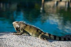 Leguanödlan som vilar på varmt, vaggar nära vattenedfen Royaltyfri Foto