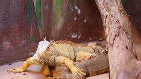 Leguan在动物园里 免版税库存图片
