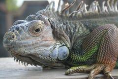 Leguan在巴厘岛 免版税库存照片