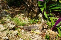 Leguan爬行动物坐一晴天和等待的一个岩石 图库摄影