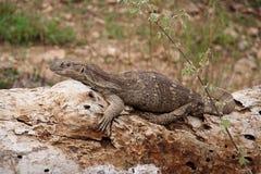 leguan的鬣鳞蜥 库存照片