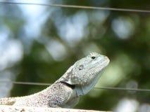 Leguan - ödla Arkivfoton