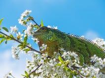 Leguan överst av ett körsbärsrött träd Arkivbilder