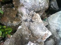 Leguan в Мексике Стоковые Изображения RF