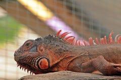 Leguan лежит на своей ручке в теплом парнике Стоковые Фото