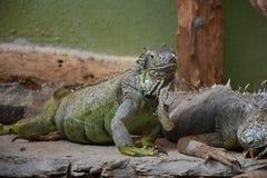 Leguan stockfotografie