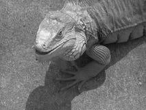 Leguan Arkivbilder
